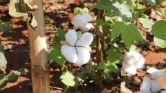 Plantação de algodão – Esalq