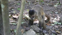 Macaco-prego da Caatinga