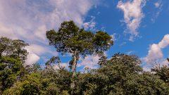 Arvore Samaúma, localizada nas margens do rio Croa, Acre. Foto: Cecília Bastos/usp Imagem