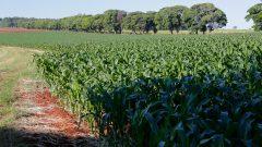 Plantação de milho – Faculdade de Zootecnia e Engenharia de Alimentos (FZEA)