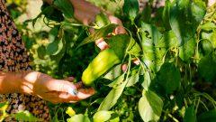 Verduras sem agrotóxicos. Fotos: Cecília Bastos/USP Imagem