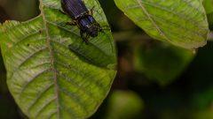 Besouro e larva encontrada na Coleta zoologica - Expedição de Campó no bosque do Museu do Ipiranga . Local: São Paulo/SP - Foto: Cecília Bastos/USPImagem