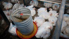Laboratório de Nutrição Avícola do campus de Pirassununga. Foto: Cecília Bastos/USP Imagem