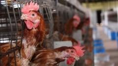 FZEA avicultura