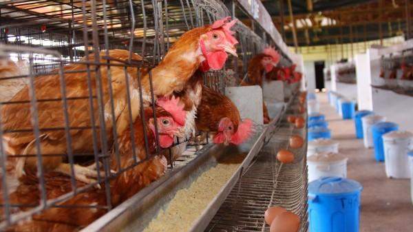 Avicultura – Faculdade de Zootecnia e Engenharia de Alimentos