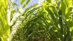 Plantação de milho – Esalq