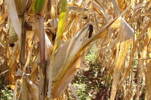 Plantação de milho II – Esalq