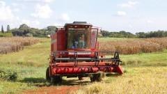 Colheitadeira colhendo arroz – Esalq