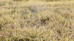 Colheitadeira colhendo arroz II – Esalq