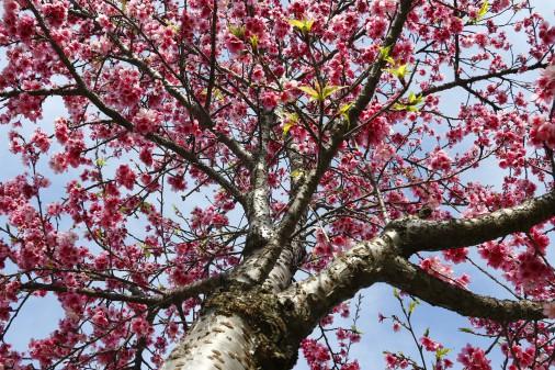 Cotidiano – Cerejeiras na Universidade