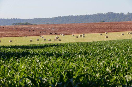 Plantação de milho – Faculdade de Zootecnia e Engenharia de Alimentos