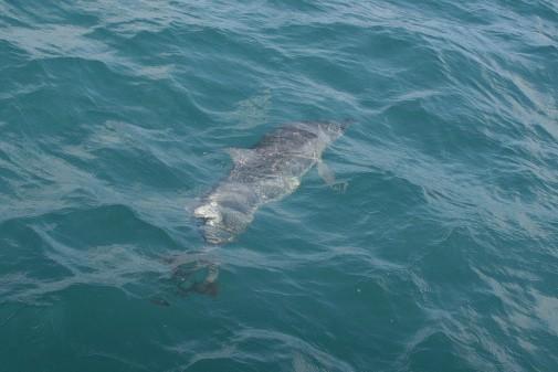 Golfinho Rotador