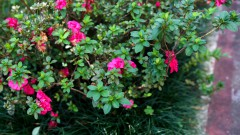 Especie flor de jardim, foto Cecília Bastos