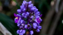 Espécie de flor de jardim, abelha azul ou delfínio. foto Cecília Bastos.
