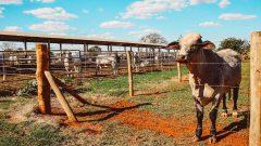 Gado de corte do Laboratório de Avaliação animal e qualidade de carne do campus de Pirassununga. Foto: Cecília Bastos/USP Imagem