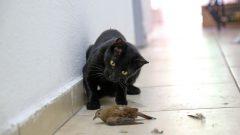 Gato caçador de passarinho