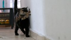 Gato doméstico caçador