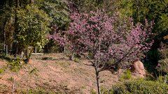 Cerejeira no Jardim Japonês da USP. Foto: Cecília Bastos/USP ImagemFoto: Cecília Bastos/USP Imagem