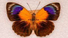 Acervo do Laboratório de borboletas e mariposas do Museu de Zoologia da USP. Foto: Cecília Bastos/USP Imagem