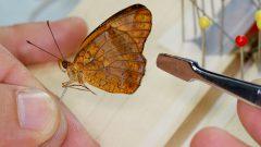 Montagem das borboletas fountainea halice para estudo no Museu de Zoologia. Foto: Cecília Bastos/USP Imagem