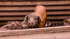 Porco criado no quintal de casa. Foto: Cecília Bastos/USP Imagem
