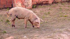 Porco e galinha criados no quintal de casa.