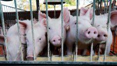 Porcos do Departamento de Avaliação Animal e qualidade de carne do campus de Pirassununga.