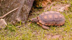Tartaruga no quintal. Foto: Cecília Bastos/USP Imagem