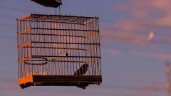 Passarinho na gaiola. Foto: Cecília Bastos/USP Imagem