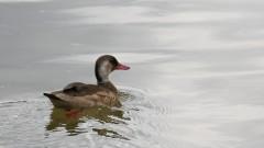 Pássaros na praça do relógio -Pato no espelho d'agua na praça do relogio.