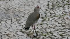 Pássaros na praça do relógio - Pássaro quero-quero.