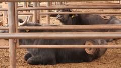 Búfalos – FZEA