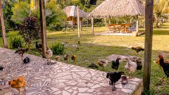 Criação de galinha e galo soltos no campo. Foto Cecília Bastos/Usp Imagem