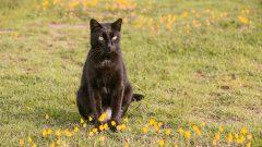 gato preto. Foto: Cecília Bastos/USP Imagem