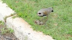 Pássaro quero-quero no campus da USP.