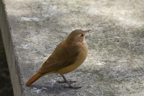 Aves – Sabiá